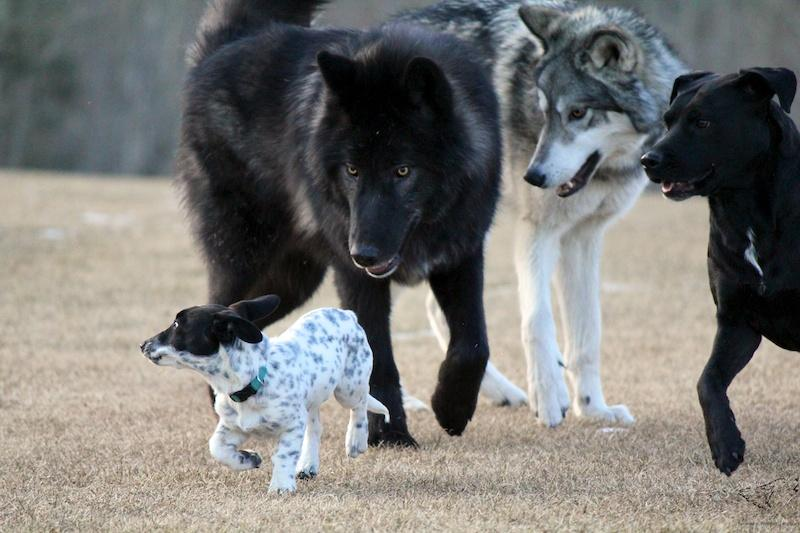 Wolf and dogs